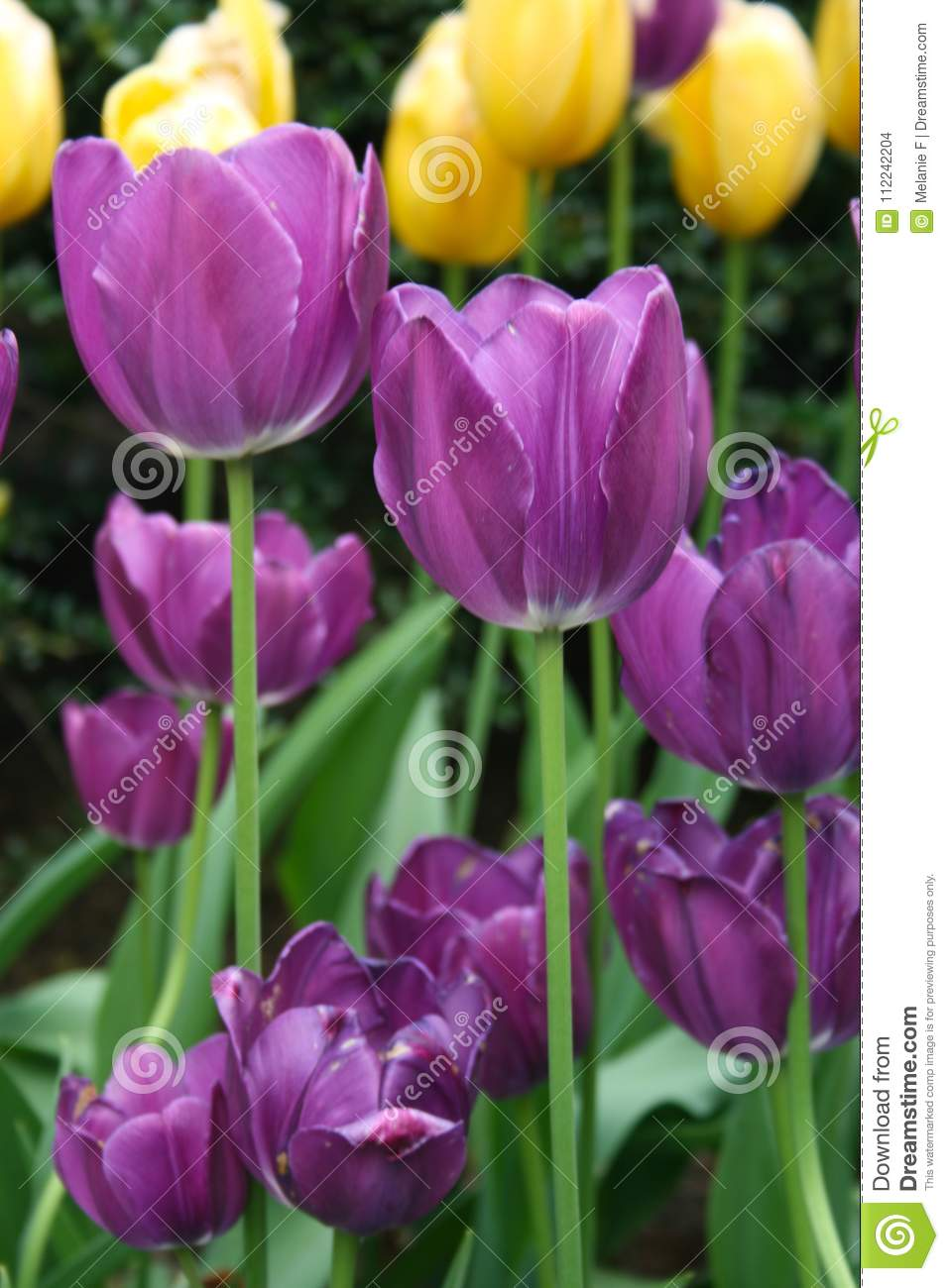 Close Up Of Long Stem Purple Tulips With Yellow Tulips In The