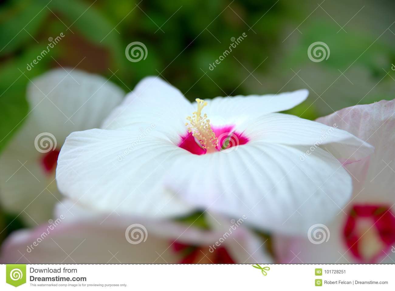 White Flower Of Hibiscus Moscheutos Stock Image Image Of Colors