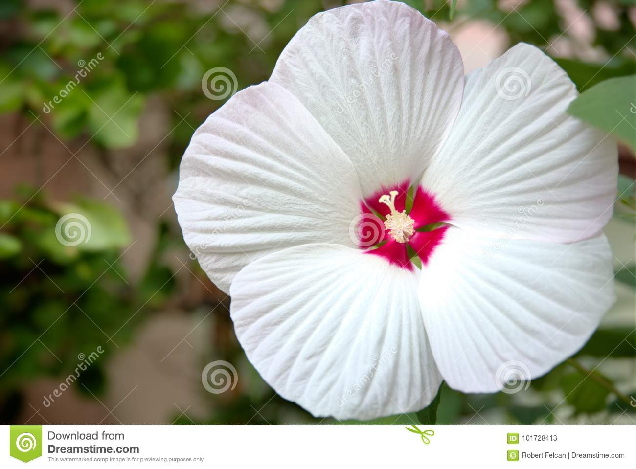 White Flower Of Hibiscus Moscheutos Stock Image Image Of Pollinate