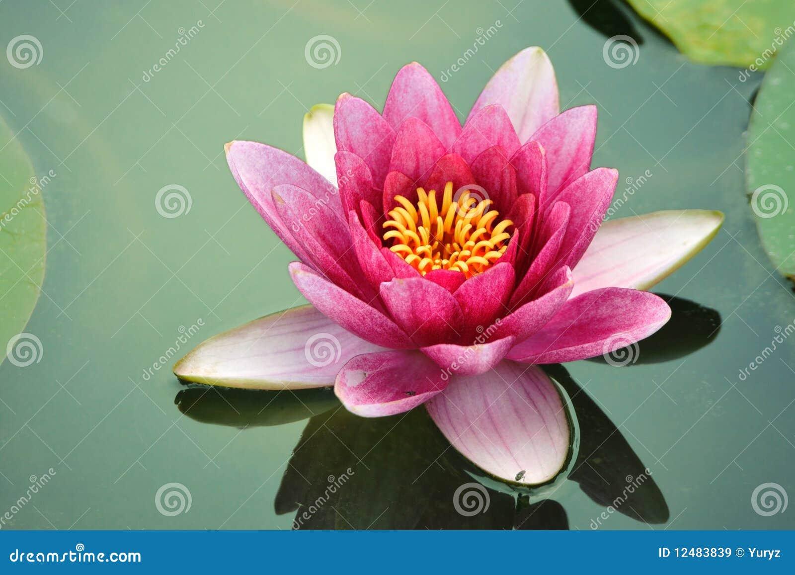 Close up lotus flower stock image image of fresh lake 12483839 close up lotus flower mightylinksfo