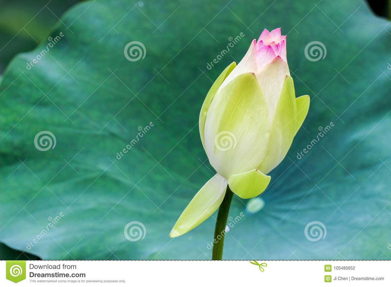 Close up of lotus flower bud with green leaves stock photo image download close up of lotus flower bud with green leaves stock photo image of season izmirmasajfo