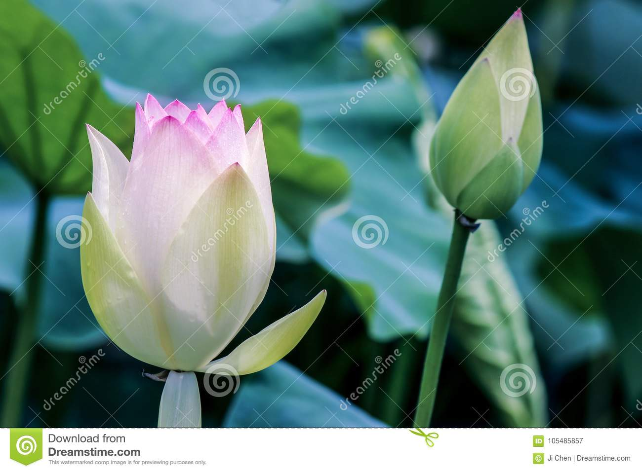 Close up of lotus flower bud with green leaves stock image image close up of lotus flower bud with green leaves mightylinksfo