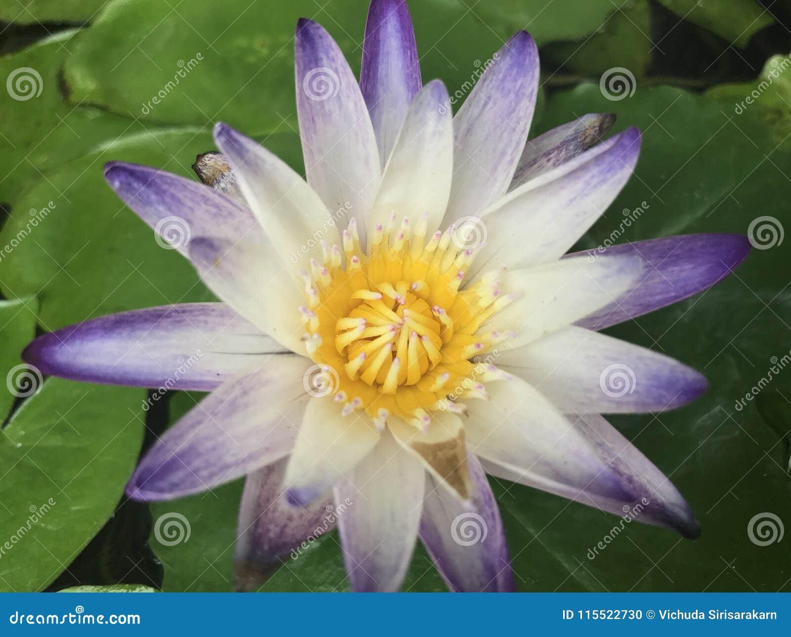 Close Up Lotus National Flower Stock Photo Image Of Hinduism