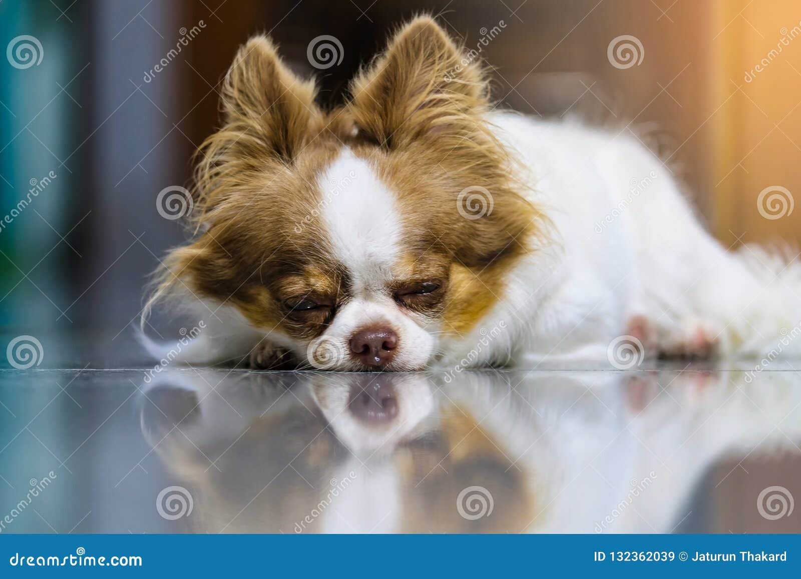 Close-up Luie hond, Leuke bruine en witte Chihuahua-slaap en het ontspannen op betegelde vloer