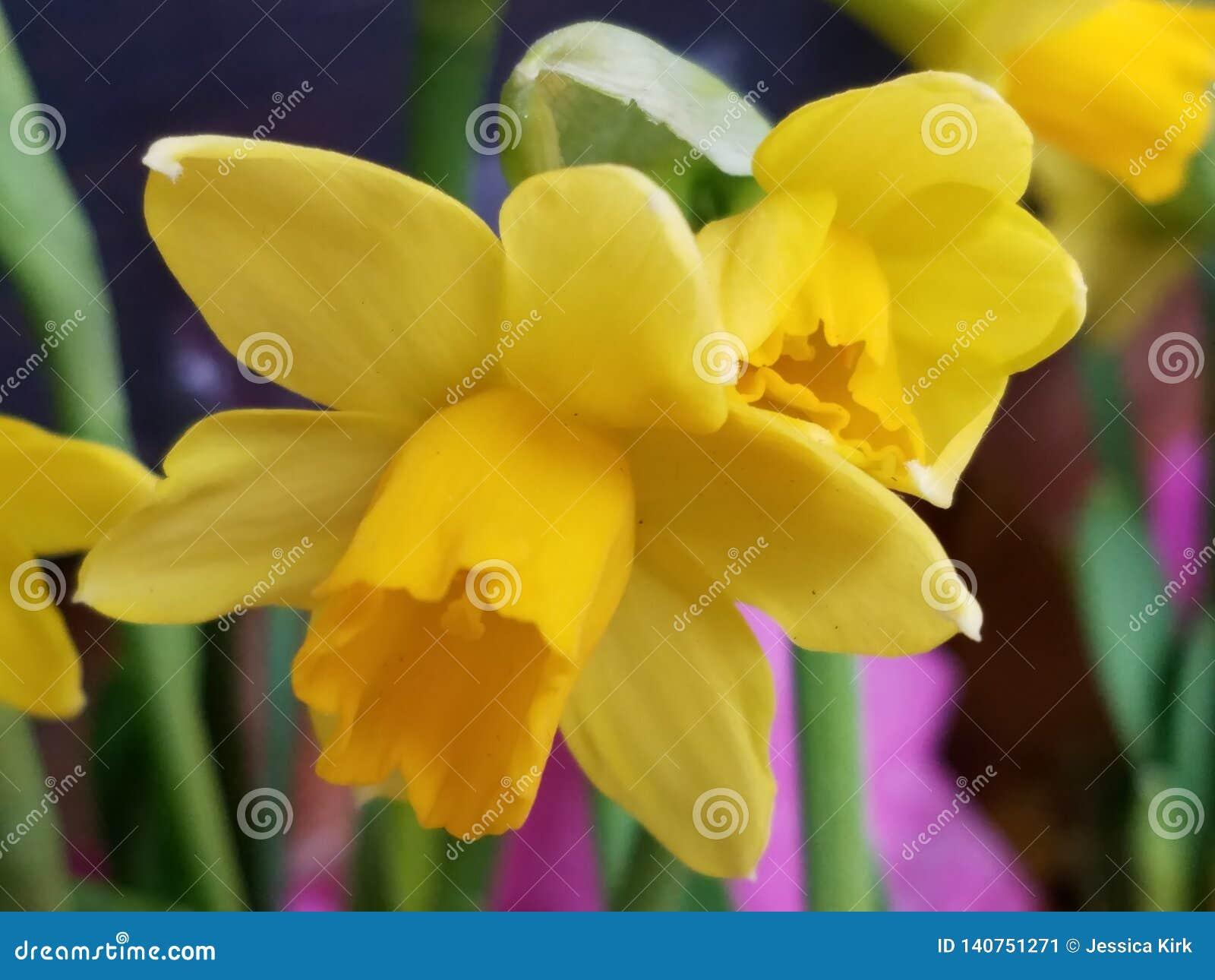 Close up macio do narciso amarelo do junquilho do narciso amarelo