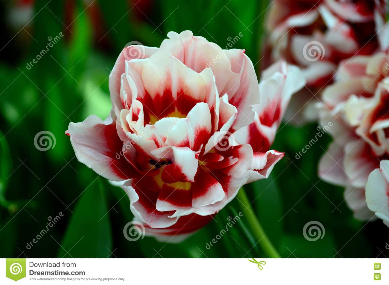 Close Up Macro Of Blood Red And White Colored Flower Stock Photo