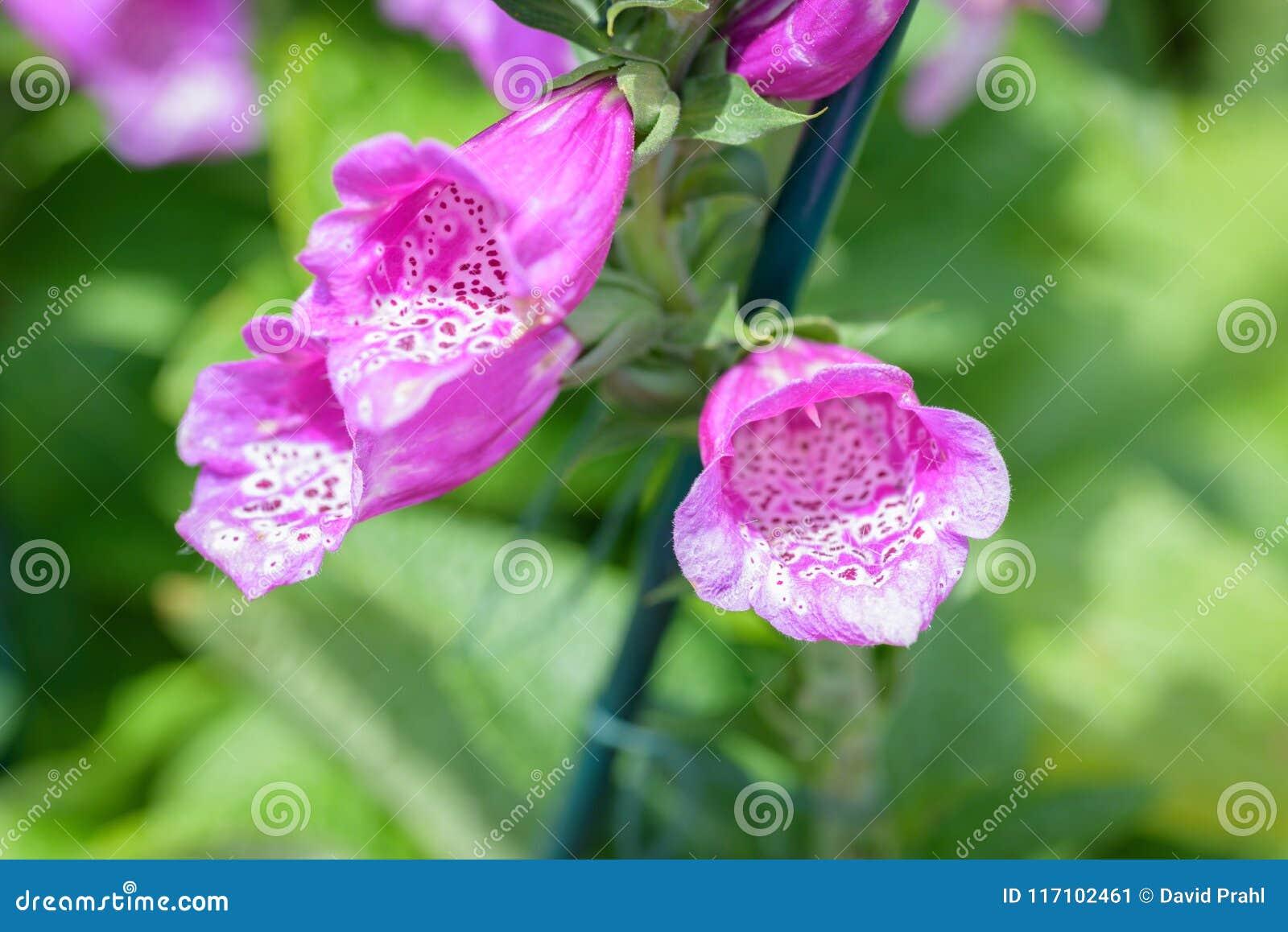 Close up macro de flores da digital