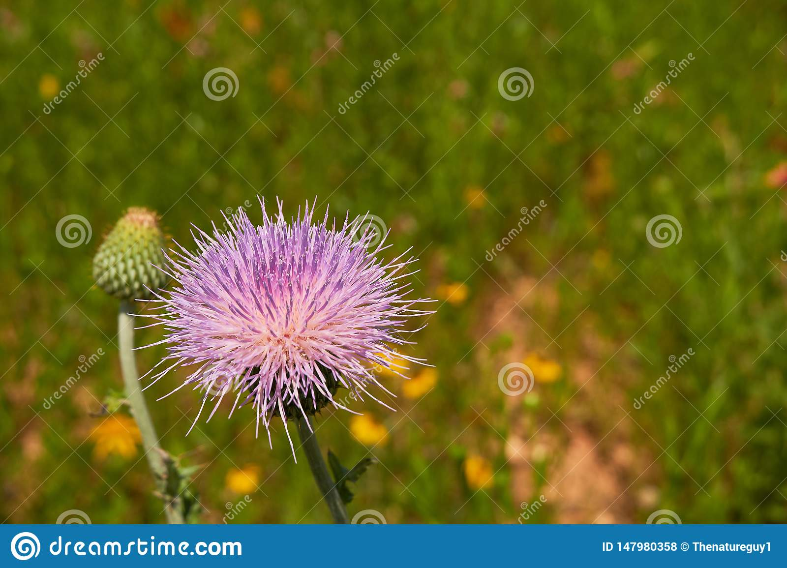 Close up macro of Isolated Beautiful Pink Texas Thistle bloom Cirsium texanum