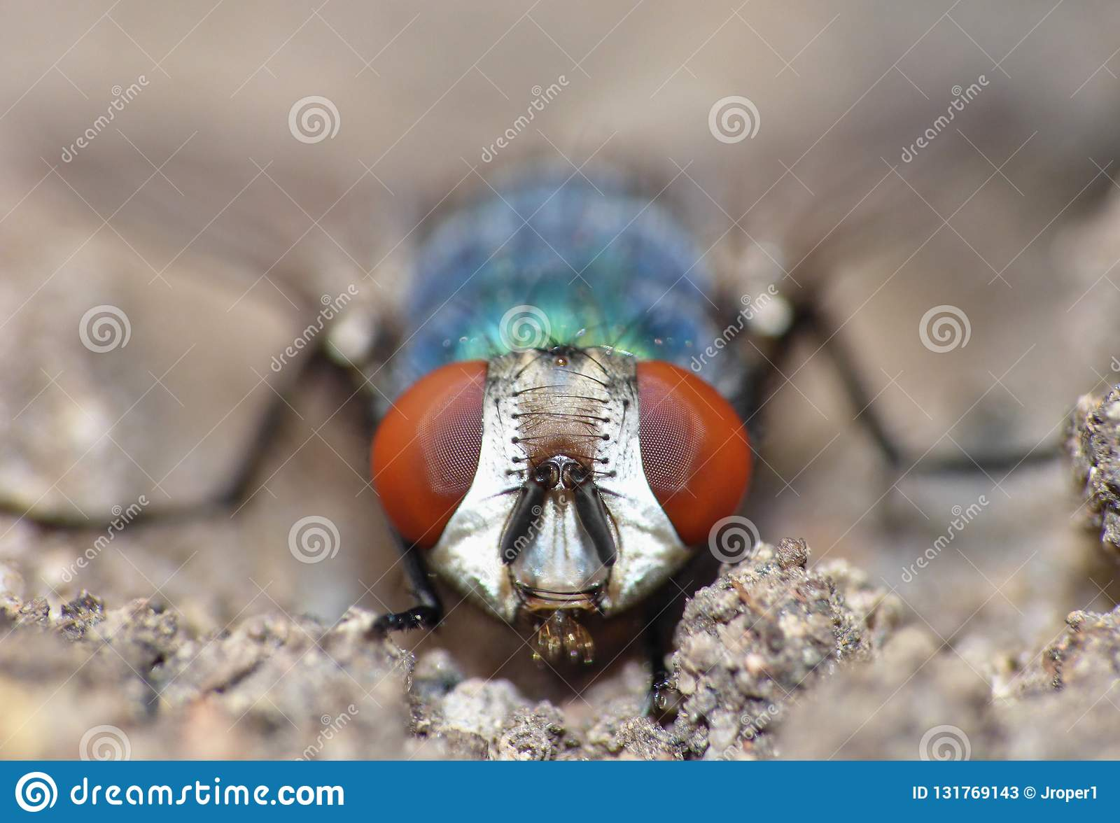 Close up macro shot of a Blowfly Green / Blue in the garden, photo taken in the United Kingdom