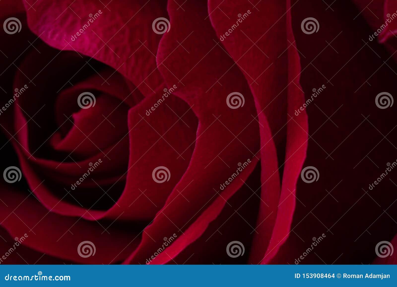A close up macro shot of a red rose.