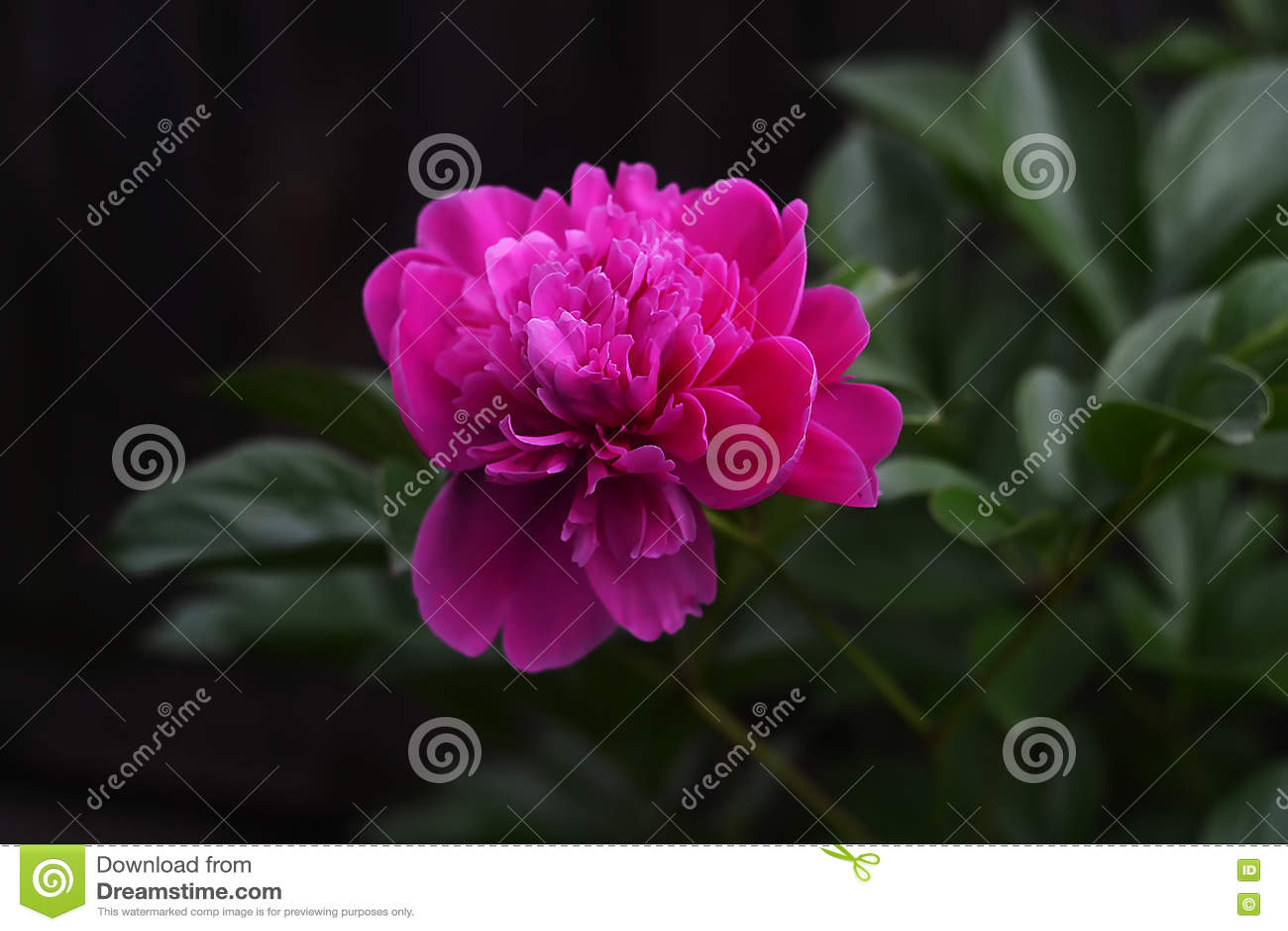 A close up macro shot of a red rose stock image image of garden a close up macro shot of a red rose izmirmasajfo