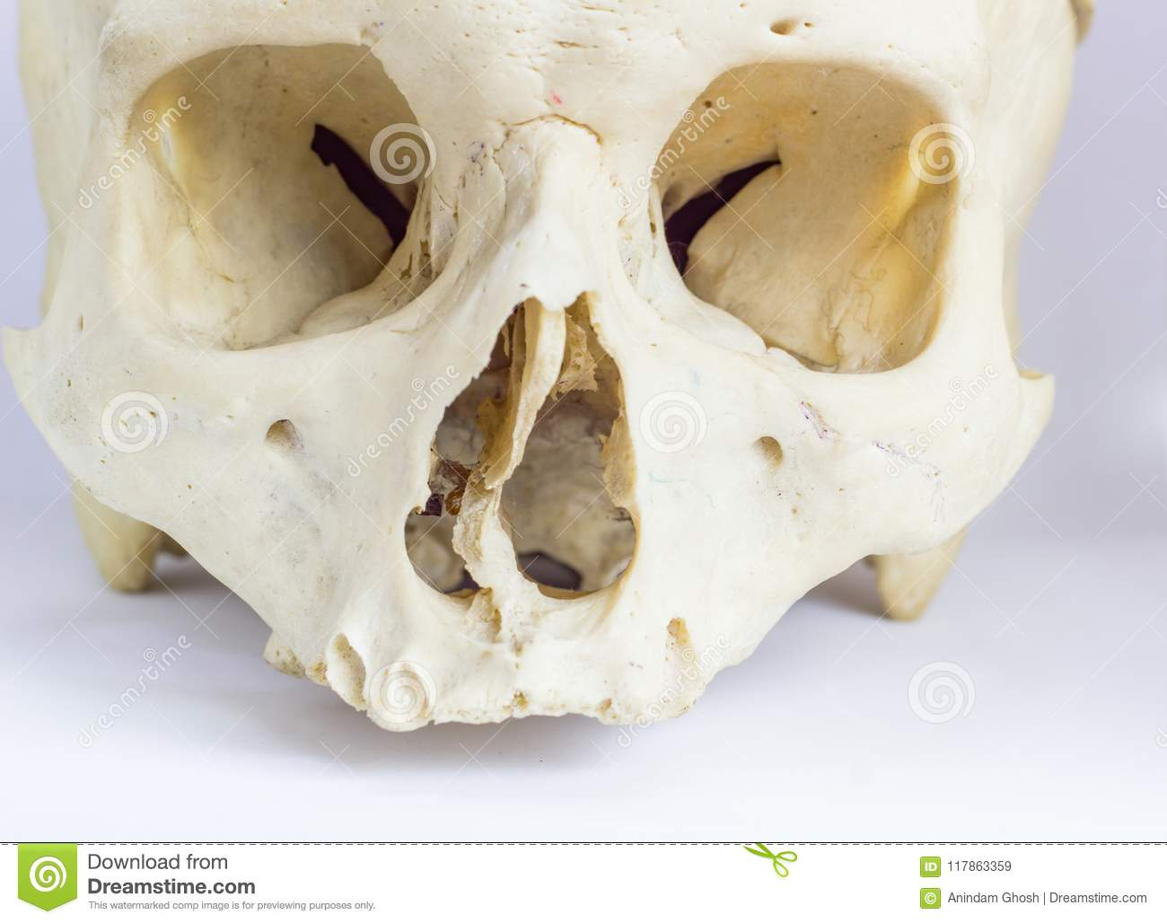 Close Up Macro View Of Human Skull Bone Showing The Anatomy Of Nasal ...