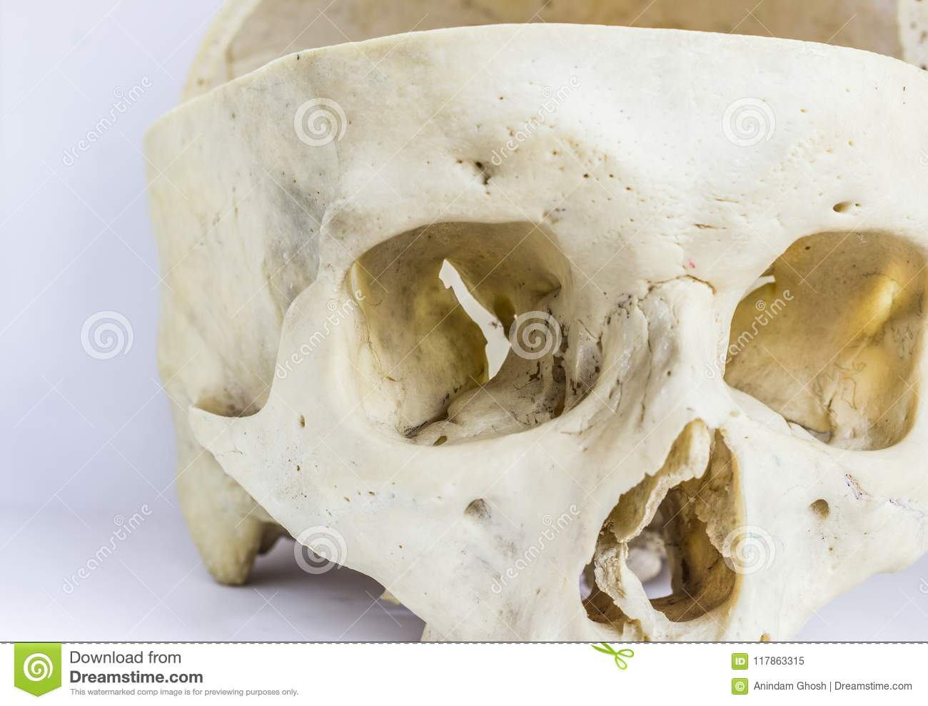 Close Up Macro View Of Human Skull Bone Showing The Anatomy Of
