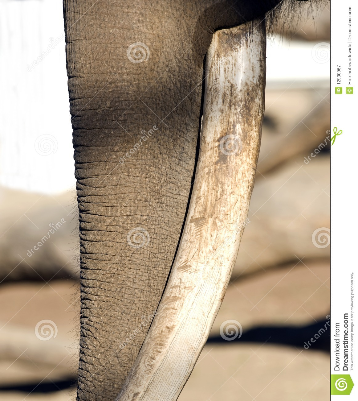Close Up Of Male African Elephant Trunk And Tusk Royalty Free ...