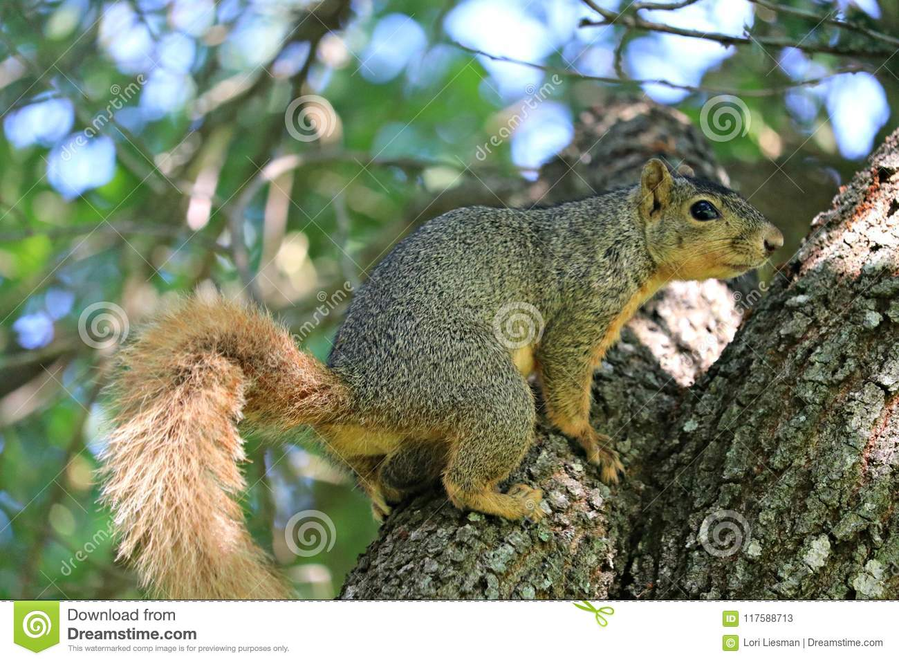 A close up of a male fox squirrel on the limb of a large oak tree.