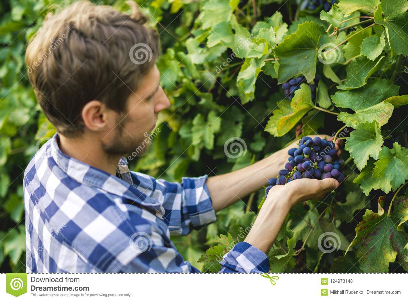 Close up male gardener hands pick fruits in a greenhouse