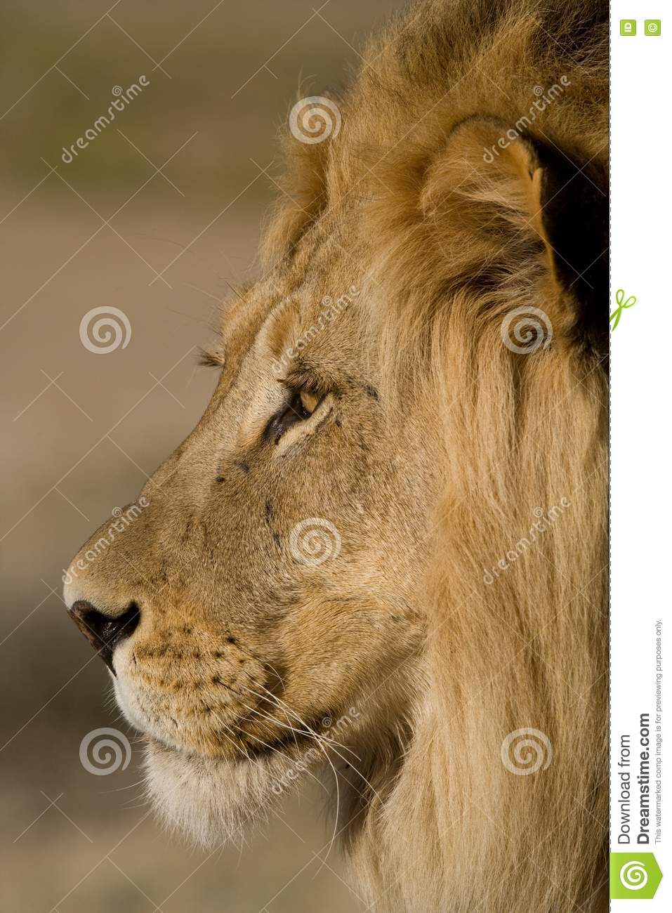 Close-up Of A Male Lion Face Stock Photo - Image: 20914010