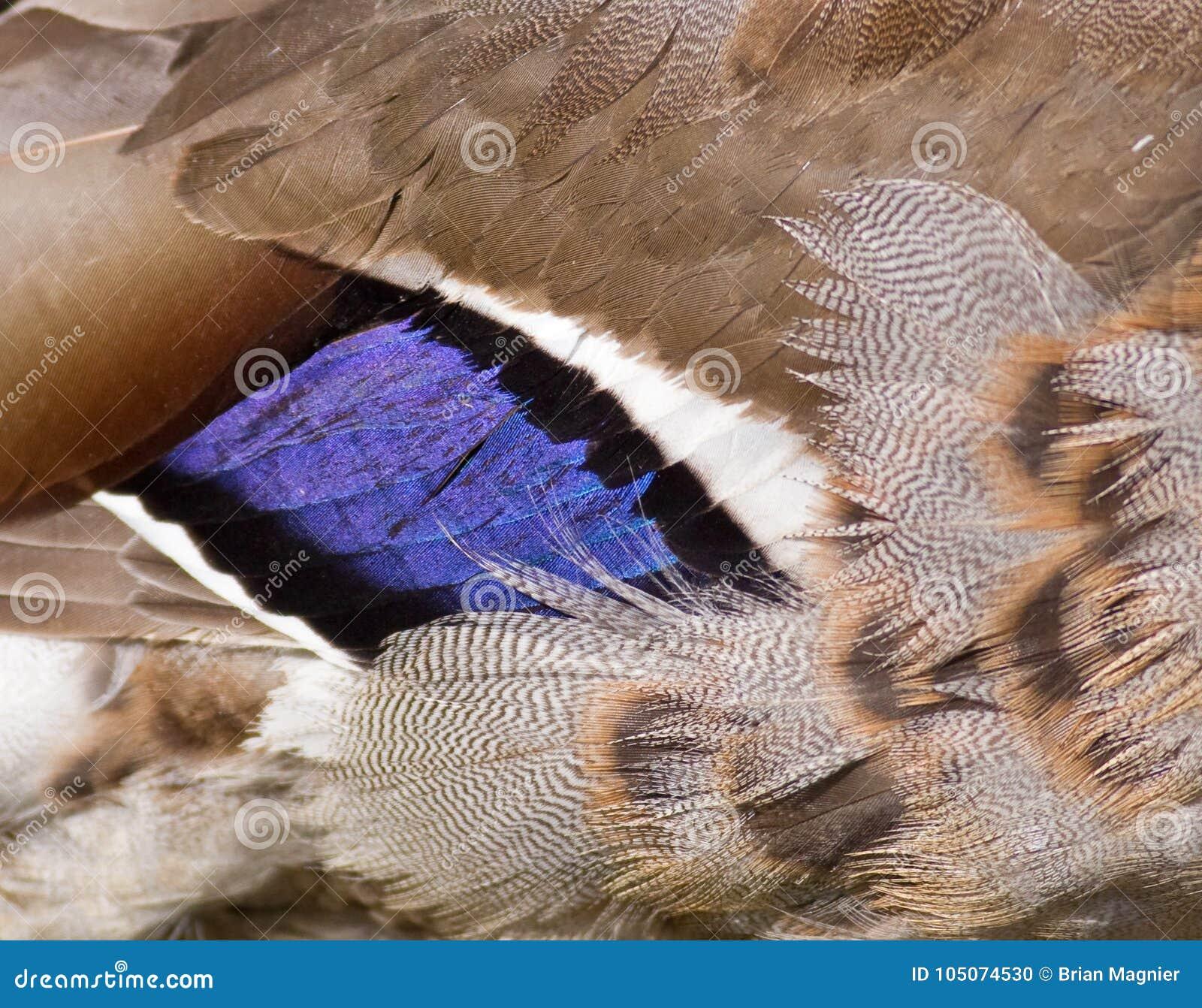 Mallard duck wing stock photo. Image of closeup, avian - 105074530