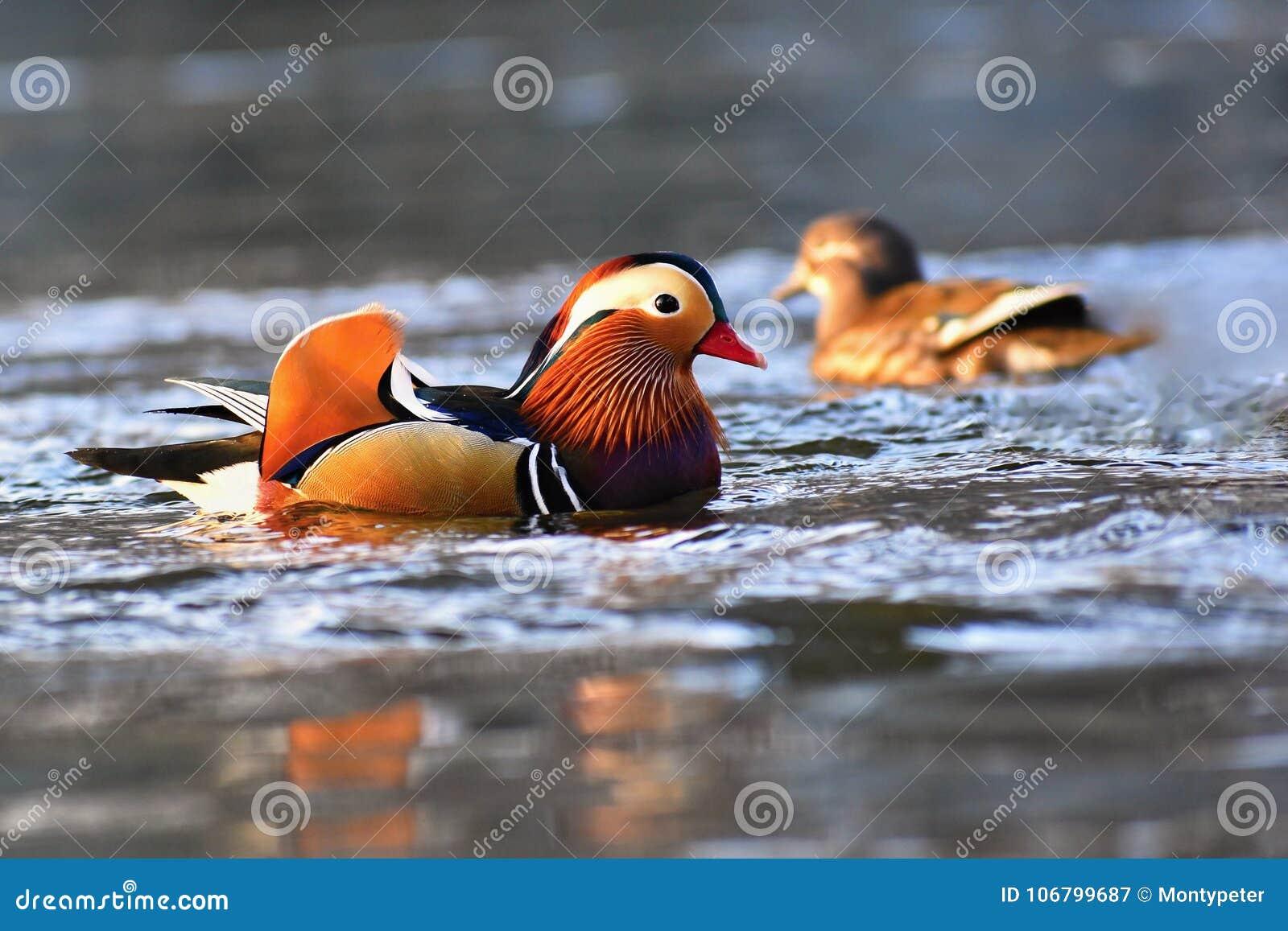 Close-up mannelijke mandarin galericulata die van eendaix op het water met bezinning zwemmen Een mooie vogel die in de wildernis