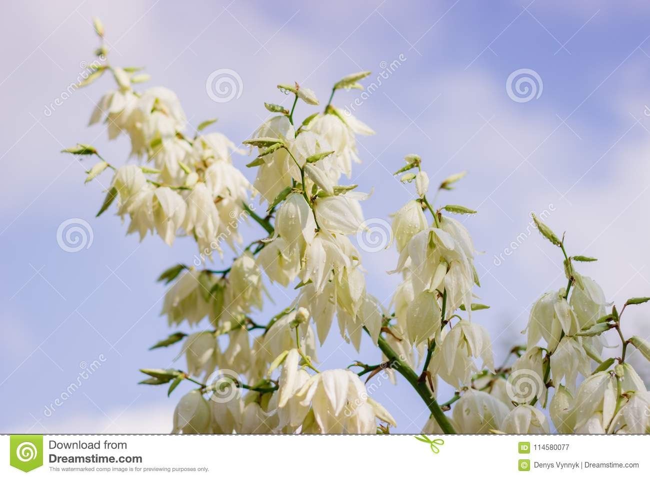 Close up of many flowers of the yucca plant in bloom.