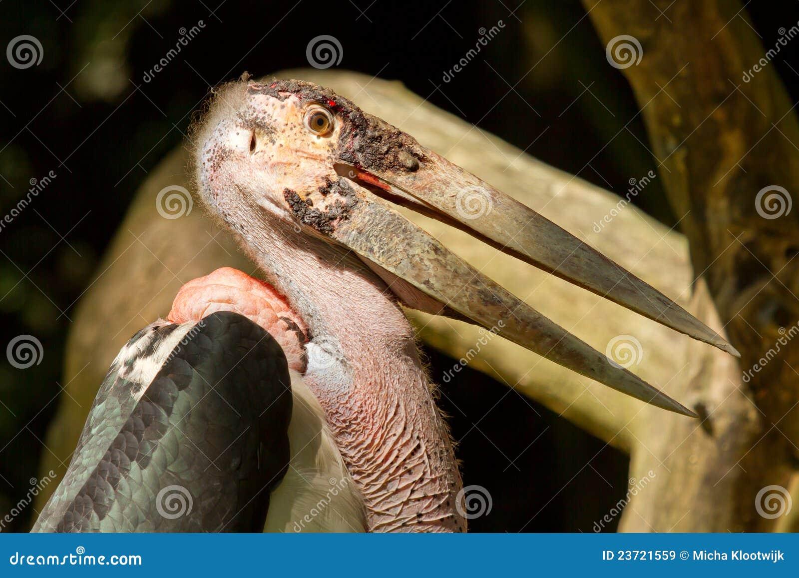 A close-up of an marabu
