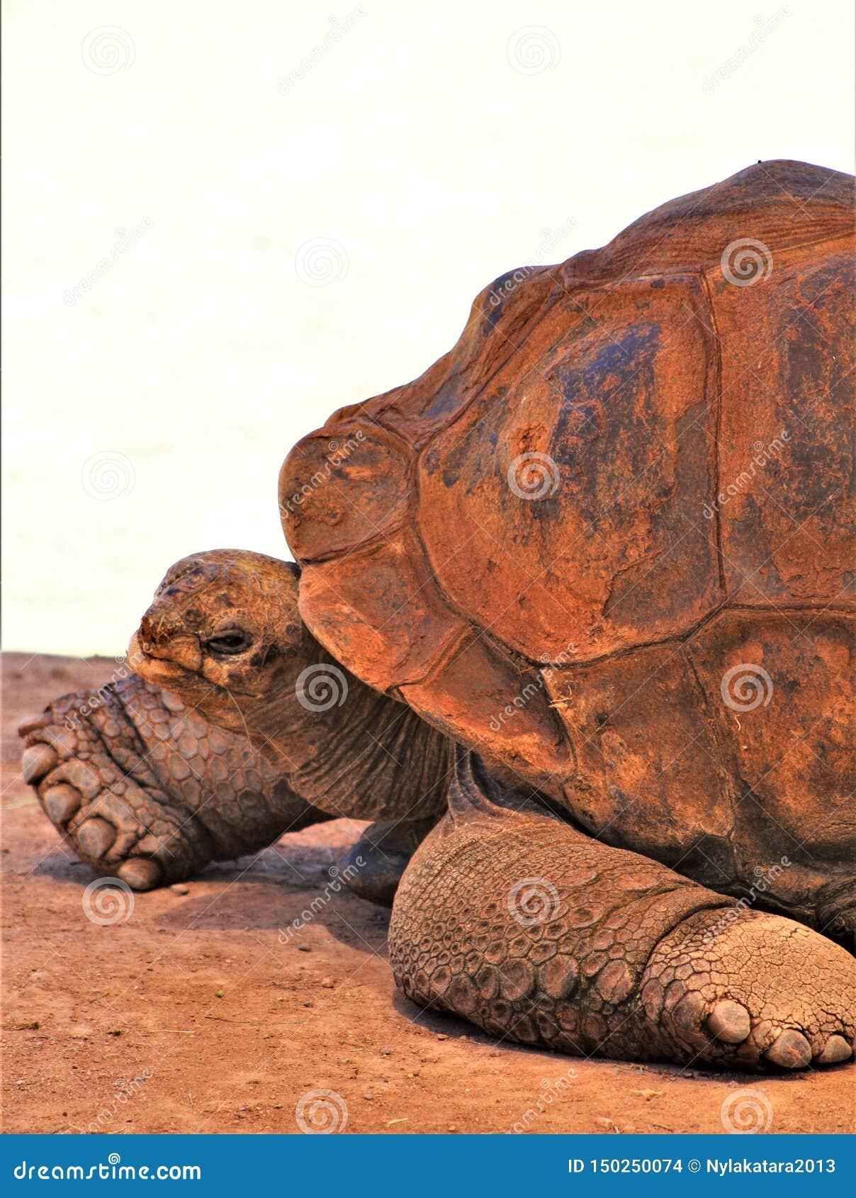 Aldabra Giant Tortoise, Phoenix Zoo, Arizona Center for Nature Conservation, Phoenix, Arizona, United States