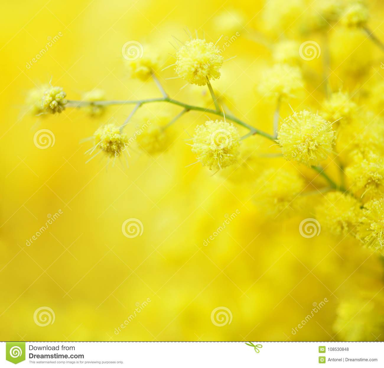 Close-up of mimosas yellow spring flowers on defocused yellow background. Very shallow depth of field. Selective focus