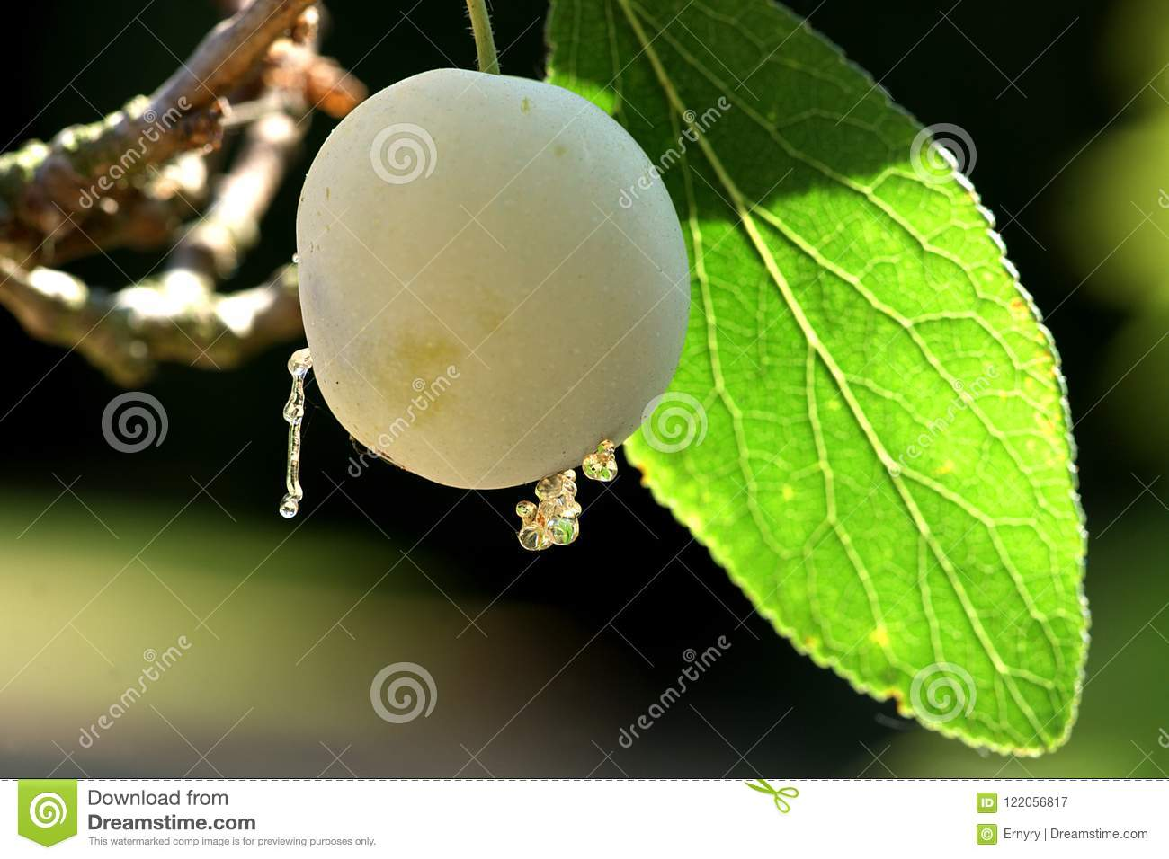 Close-up Of A Mirabelle At The Tree Stock Image - Image of