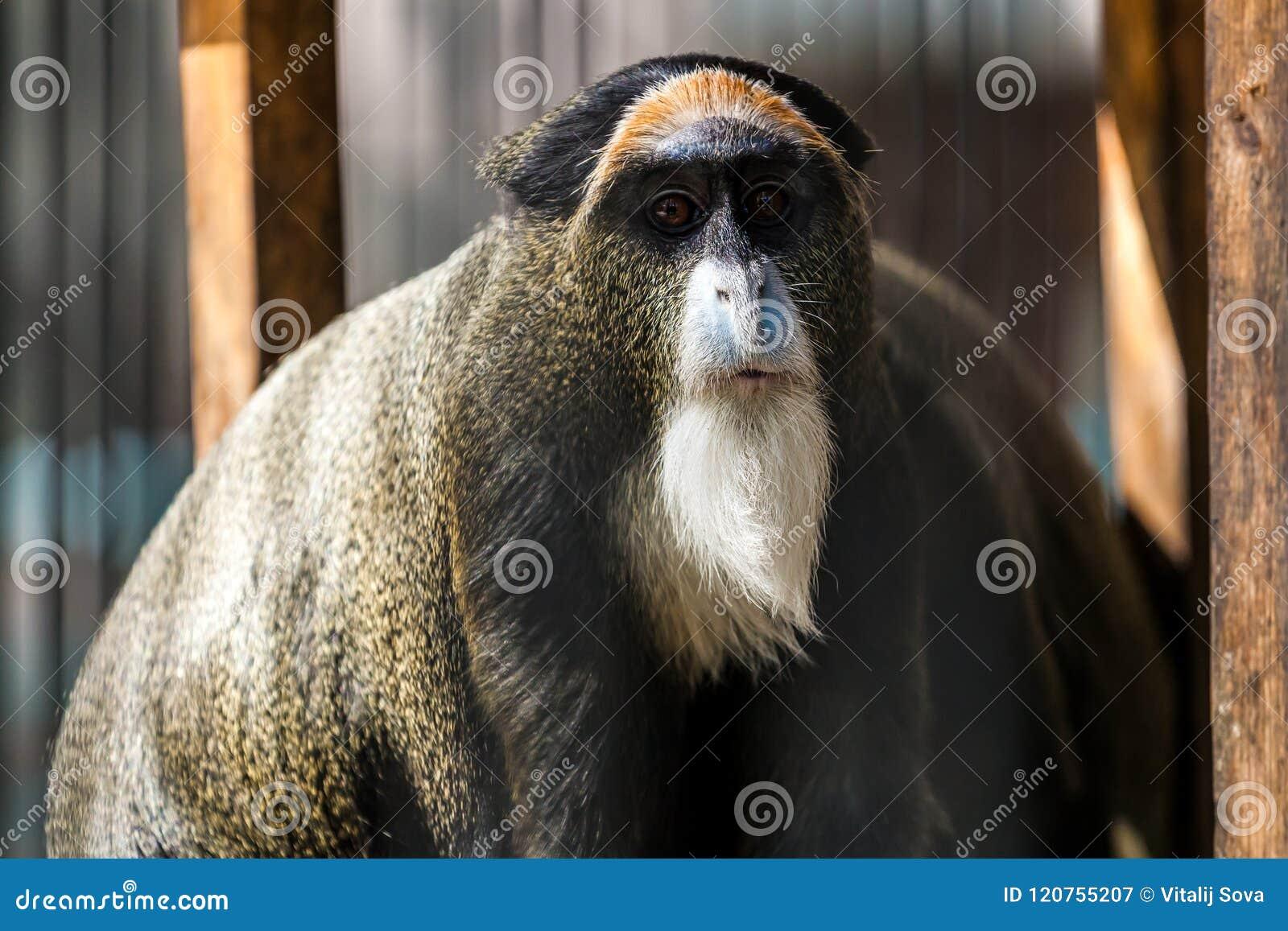 A close-up of a Monkey cerсopithecus neglectus