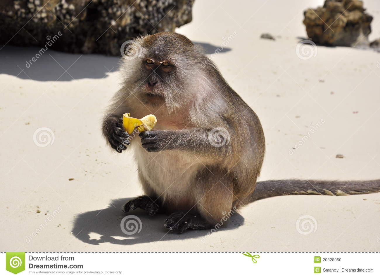 close up of monkey eating banana on the beach stock photo