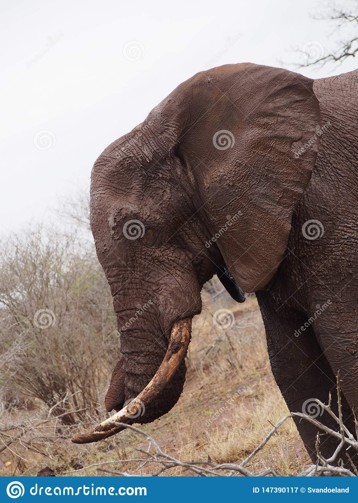 Close up of muddy elephant in Africa.