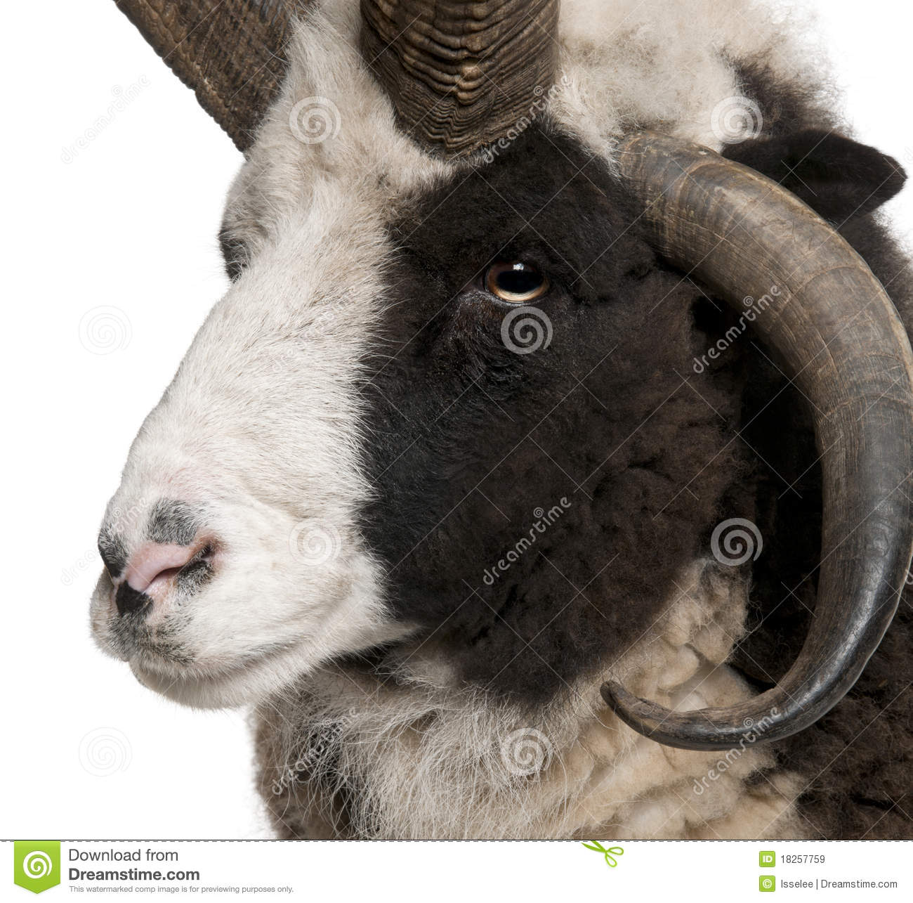 Close-up of Multi-horned Jacob Ram