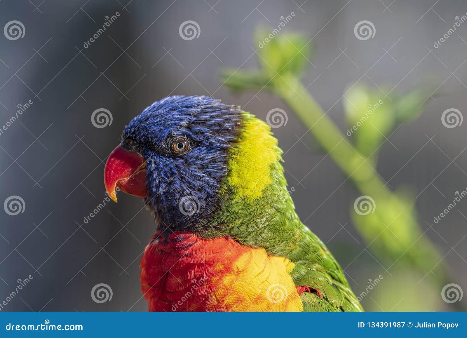 Close Up Of Multicolored Rainbow Lorikeet Parrot