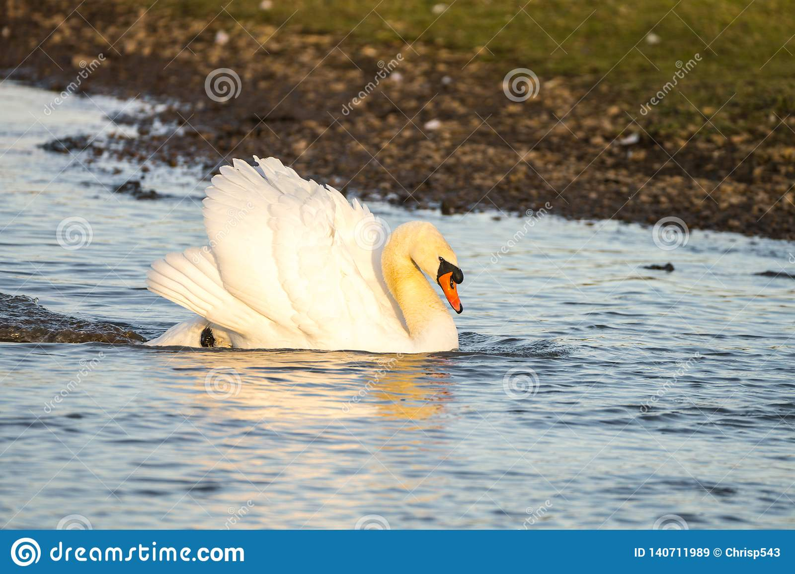 Close up of a Mute Swan Cygnus olor in threat pose swimming across lake at speed