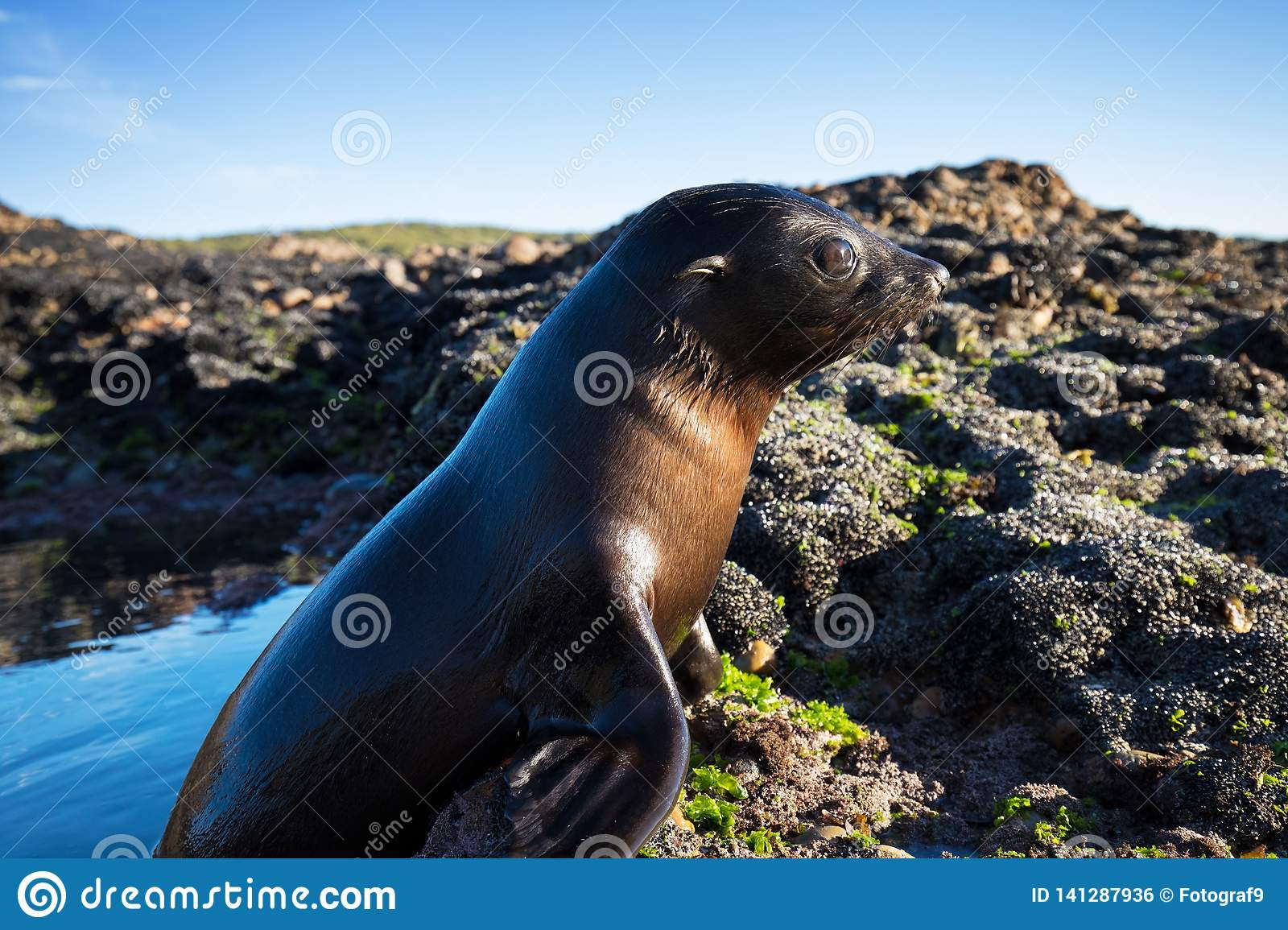 Close up of a New Zealand sea lion Zalophus californianus posing on a rock in the reefs of beach.