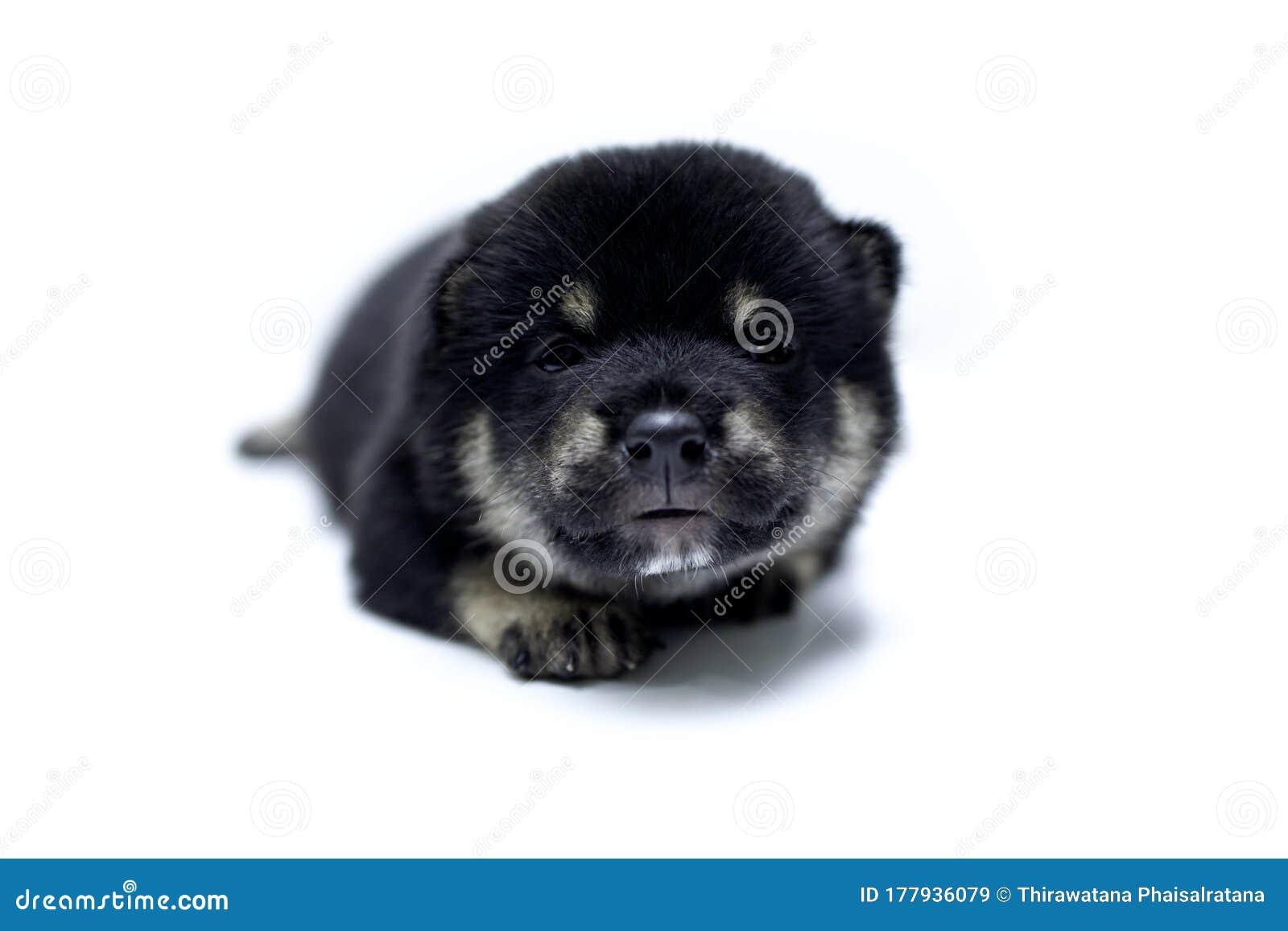 Close Up Of A Newborn Shiba Inu Puppy Japanese Dog Beautiful Shiba Inu Puppy Color Black 20 Day Old Puppy On White Background Stock Image Image Of Pedigree Black 177936079