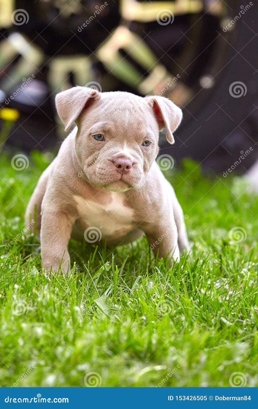 Close-up novo de Bulli do americano da raça do cão Cachorrinho Bull, cães pequenos bonitos que correm em torno da grama verde Gra