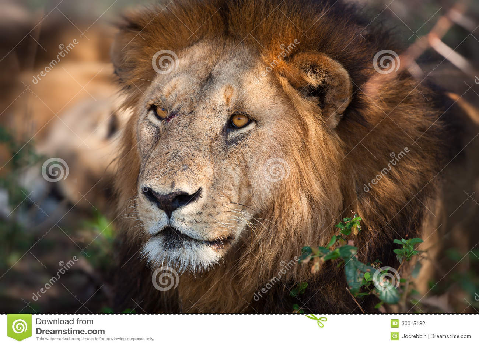 Lion sitting profile - photo#29
