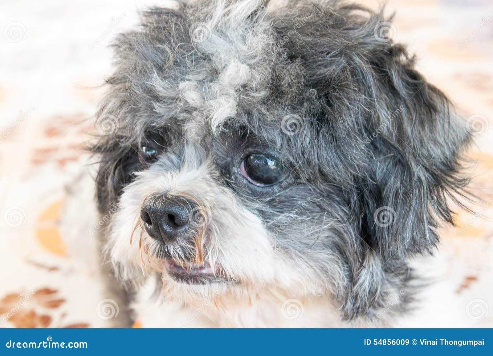 Close up old shih tzu dog face