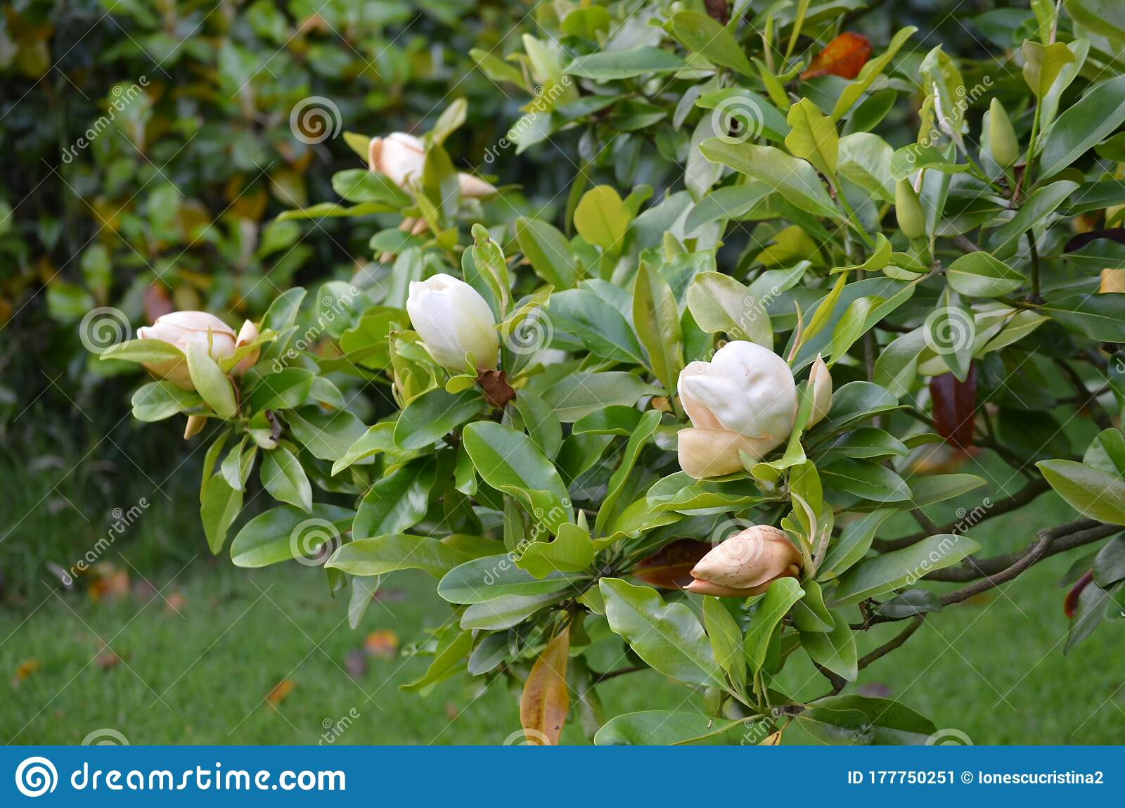 Close Up Of One Delicate White Flower Of Ficus Tree In A Cloudy Day In A Summer In France Beautiful Outdoor Floral Background Ph Stock Image Image Of White Bloom 177750251,Steamed Broccoli Brockly