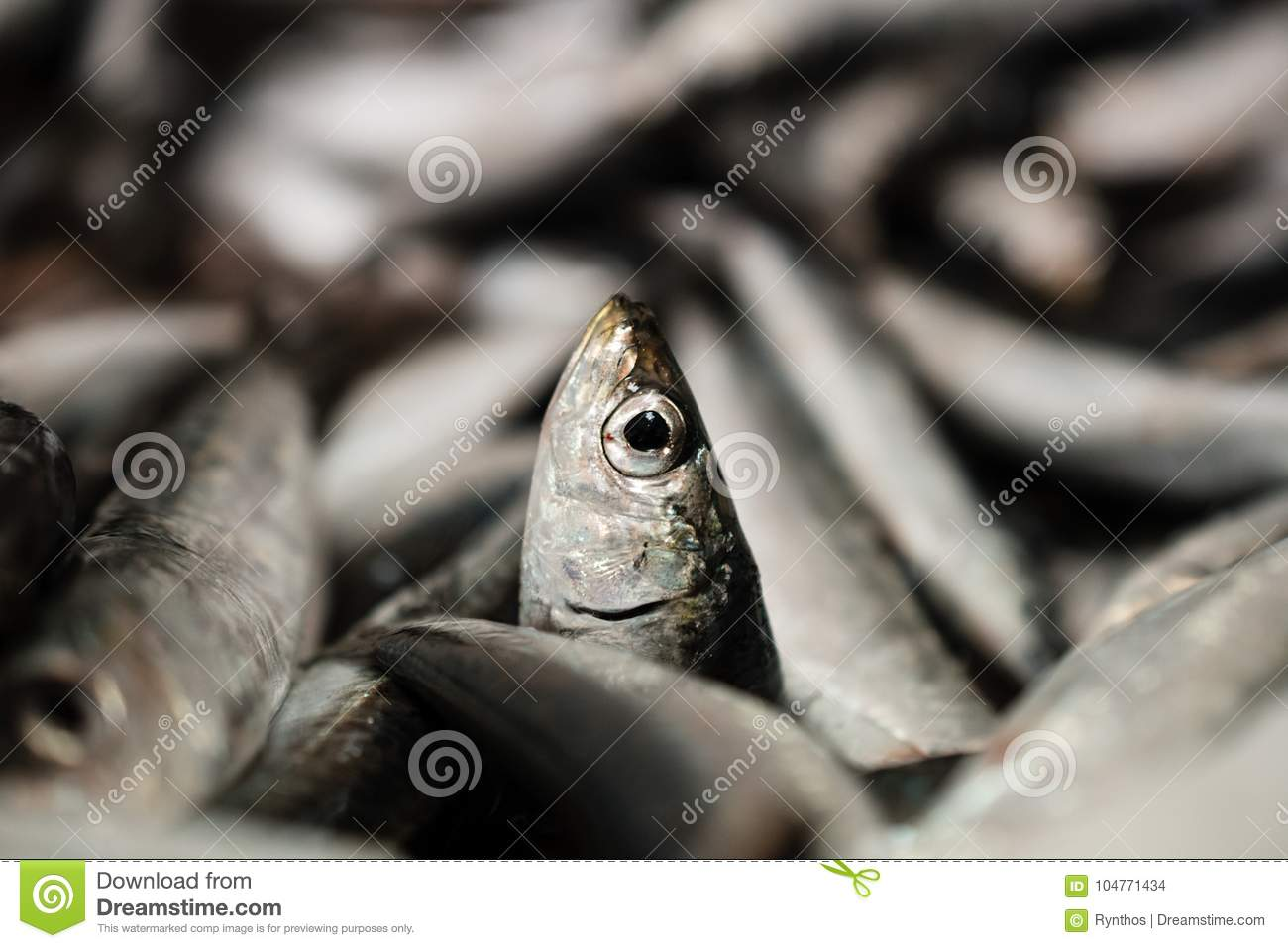 Close-Up Of One European Sardine Or Sardina Pilchardus In A Larger Pile Of Freshly Caught Sardines Lined Up For Sale In Greek Fish