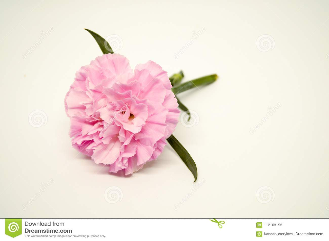 Close Up One Pink Carnation On White Background So Beautiful Stock