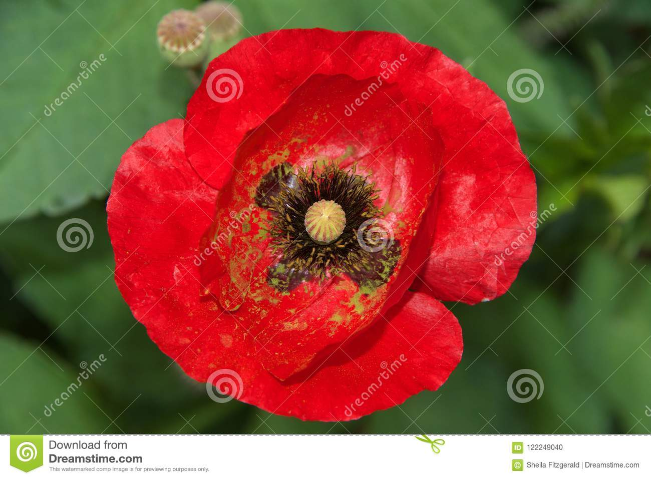 Close Up Of One Red Poppy Flower Stock Photo Image Of Floral