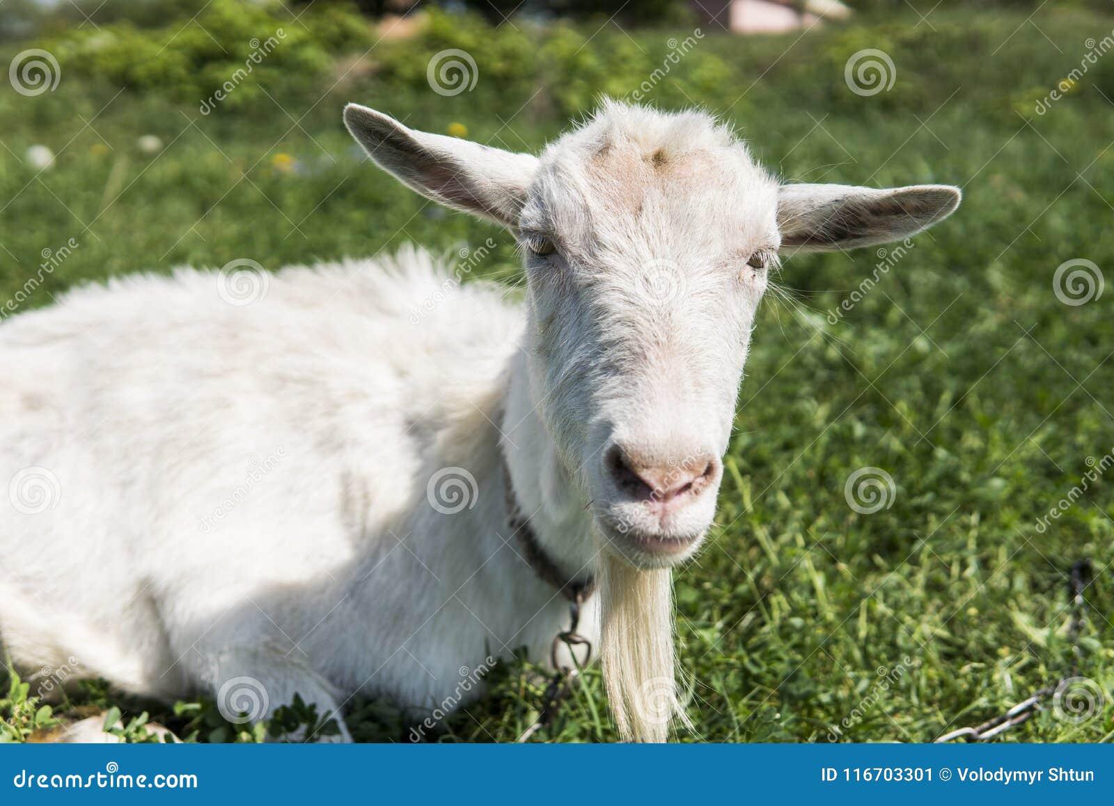 Close-up op witte grappige geit op een ketting met een lange baard die op groen weilandgebied weiden in een zonnige dag farming