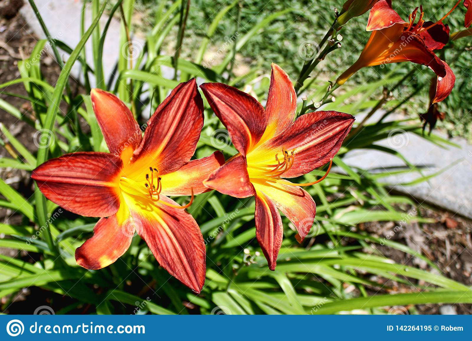 Close Up Of Orange Tiger Lily Flowers And Green Leaves In A Garden
