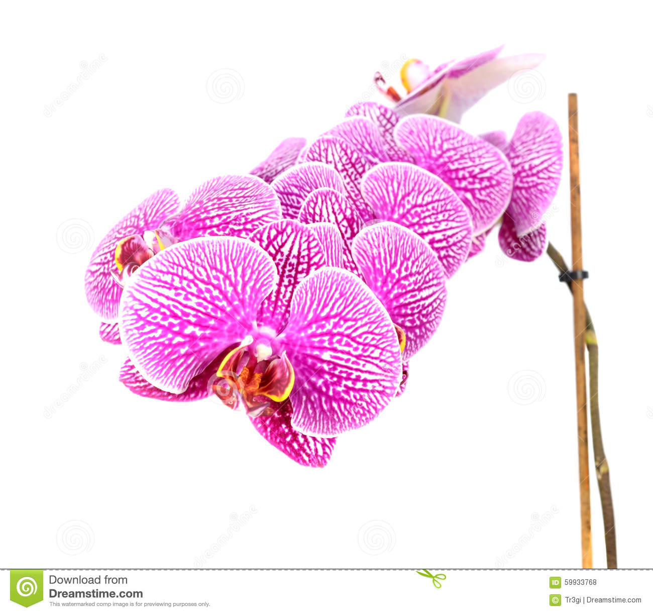 Close-up of Orchid Flowers Isolated on White
