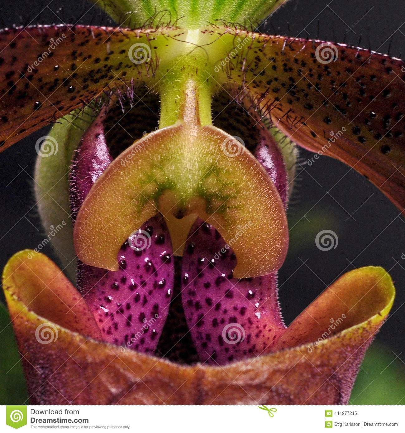A close-up of an orchid Paphiopedilum in violet colors