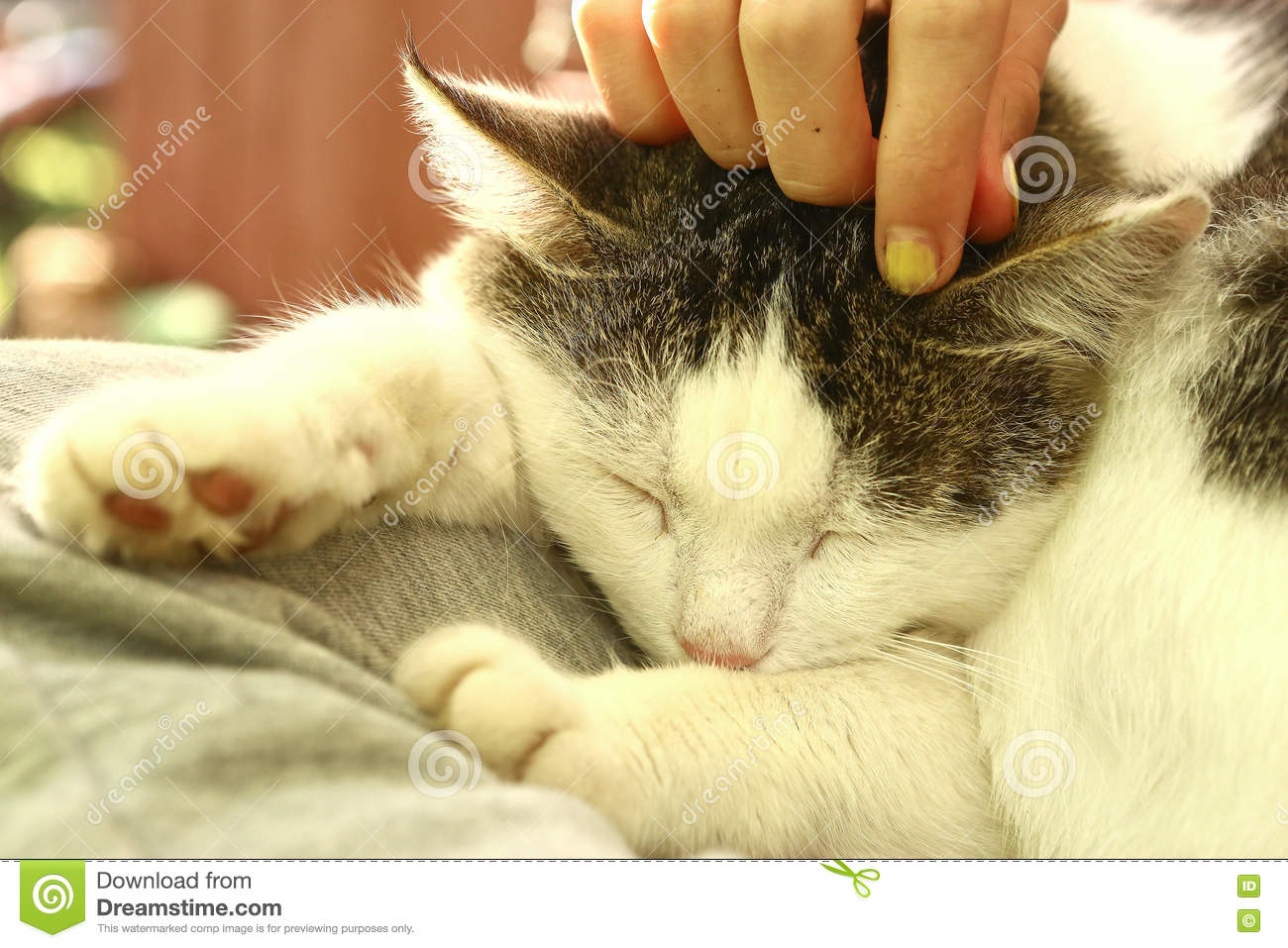 Download Close Up Outdoor Photo Of The Cat On Lap Stroke Stock Photo - Image of country, beautiful: 80219910