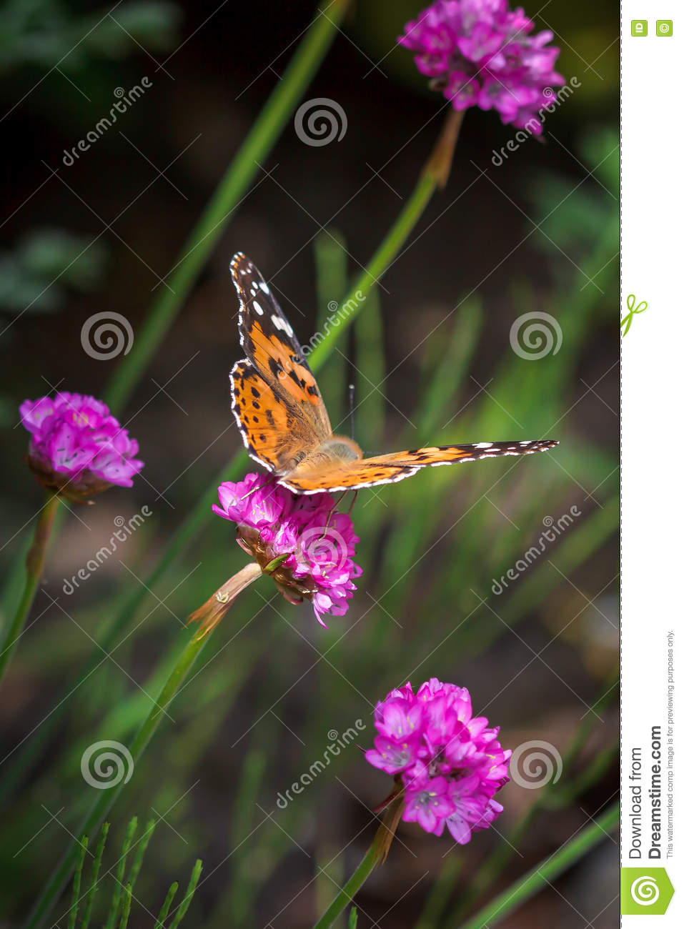 Close Up Of A Painted Lady Vanessa Cardui Butterfly Stock Image