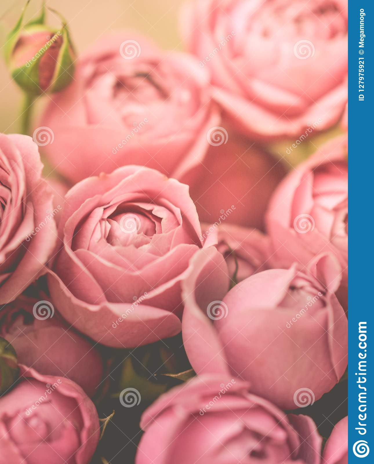 Close-up pale peony roses. Selective focus, magic light, pastel colors